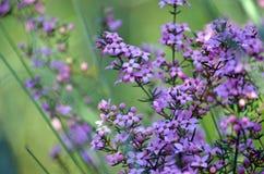 Australische inheemse Roze Boronia-bloemen royalty-vrije stock foto's