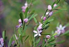 Australische inheemse Roze Waxflower, Eriostemon-australasius Royalty-vrije Stock Afbeeldingen