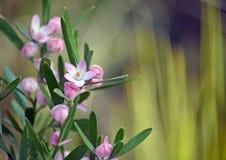 Australische inheemse Roze Waxflower, Eriostemon-australasius Royalty-vrije Stock Afbeelding