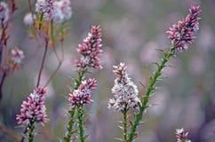 Australische inheemse Roze wildflowers van de Moerasdopheide Stock Foto