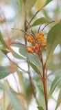 Australische inheemse wilde bloem Grevillea stock foto