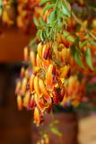 Australische Inheemse Wildflower Royalty-vrije Stock Foto's