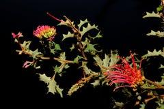 Australische inwoner wildflower - Grevillia stock afbeelding