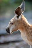 Australische Kängurus Stockfotos