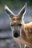 Australische Kängurus Stockfoto