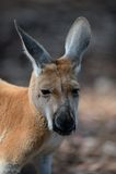 Australische Kängurus Stockbild