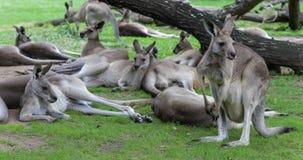 Australische Kängurus mit einem joey im Beutel stock video