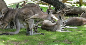 Australische Kängurus mit einem joey im Beutel stock footage
