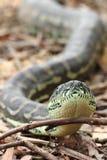 Australische Küstenteppich-Pythonschlange (Morelia-spilota mcdowelli) Stockbild
