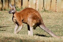 Australische kangoeroe Royalty-vrije Stock Afbeelding