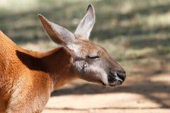 Australische kangoeroe Royalty-vrije Stock Afbeeldingen