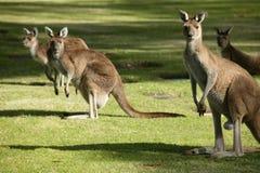 Australische Kangoeroe stock afbeeldingen