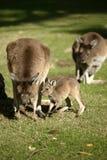 Australische Kangoeroe royalty-vrije stock foto's