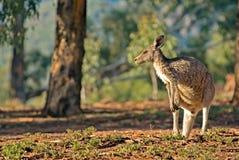 Australische kangoeroe Stock Foto