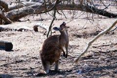 Australische kangoeroe Stock Afbeelding