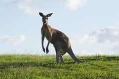 Australische kangoeroe die kijker bekijken stock foto