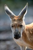 Australische Kangoeroes Stock Foto