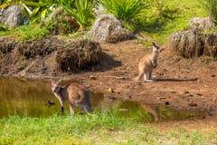 Australische Kangoeroes in Bekiezeld Strand Royalty-vrije Stock Fotografie