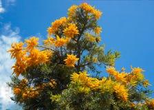 Australische Kerstboom stock afbeeldingen