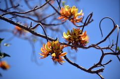 Australische Kiefern-Berg Coral Tree Inflorescence lizenzfreies stockfoto