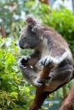 Australische Koala stock foto