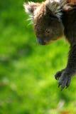 Australische Koala Royalty-vrije Stock Foto's