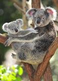 Australische koala die leuke baby Australië vervoert Stock Foto's