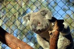 Australische Koala in gevangenschap royalty-vrije stock afbeelding