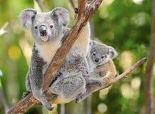 Australische koala met leuke baby Australië Stock Afbeeldingen