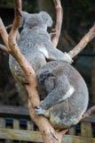 Australische Koala's die inaboom rusten Stock Afbeelding
