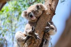 Australische koala tussen de takken van een eucalyptusboom Royalty-vrije Stock Foto