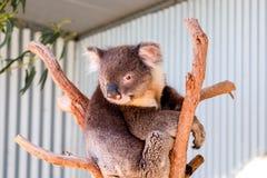 Australische koala tussen de takken van een eucalyptusboom Royalty-vrije Stock Foto's