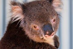 Australische koala tussen de takken van een eucalyptusboom Stock Foto's