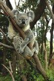 Australische koalazitting Royalty-vrije Stock Foto's