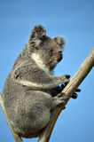 Australische Koalazitting in een gomboom Stock Afbeeldingen