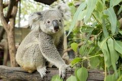 Australische koalazitting op een tak Stock Fotografie