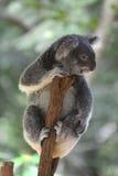 Australische koalazitting op een tak Royalty-vrije Stock Fotografie