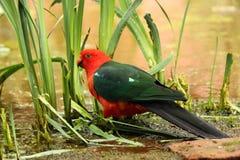 Australische Koning Parrot Royalty-vrije Stock Foto