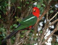 Australische Koningsparkiet, Australian King-Parrot, Alisterus s royalty free stock images