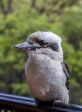 Australische Kookaburra op een Traliewerk Stock Foto