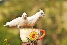 Australische kort-Gefactureerde Witte Corella Cockatoos Stock Fotografie