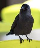 Australische Krähe Lizenzfreie Stockfotografie