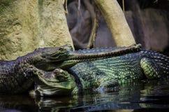 Australische Krokodil Stock Afbeeldingen