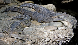 Australische krokodil 8 royalty-vrije stock foto's