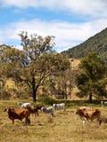 Australische landwirtschaftliche Szenen-Mastvieh für Fleisch Stockfotografie
