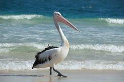 Australische pelikaan Stock Afbeeldingen