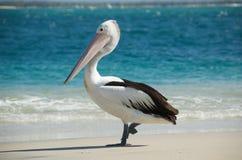 Australische pelikaan royalty-vrije stock afbeelding