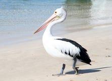 Australische pelikaan Royalty-vrije Stock Foto