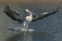 Australische pelikaan die (Pelecanus-conspicillatus) in Australië landen Stock Foto's