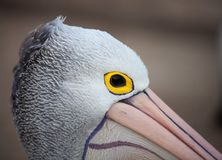 Australische Pelikaan, Pelecanus-conspicillatus, close-upportret met geel oog australi stock fotografie